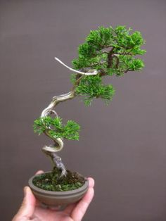 Another unique small Bonsai