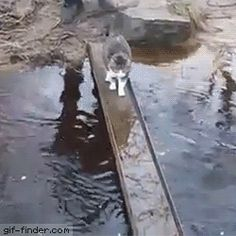 """Kitteh doesn't want to get her paws wet.""""Finder – Find and Share funny animated gifs Funny Animal Pictures, Cute Funny Animals, Cute Cats, Funny Cats, I Love Cats, Crazy Cats, Gato Grande, Video Chat, Gatos Cats"""