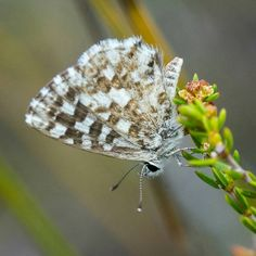 Butterflies are not common in the fynbos but this one, known as the Fynbos Blue (Tarucus thespis) is widespread throughout the region. It can be found flying at any time of the year but particularly in spring and autumn. Tortoises, Mammals, Butterflies, Insects, Autumn, Spring, Blue, Instagram, Turtles