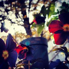 クリスマスローズのルーセブラックも西陽を浴びると鮮やかに輝くのね✨今日もおつかれさまでした♪