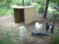 How to raise goats? To take proper care of the goats in your backyard farm or homestead isn't rocket science, but it does take some preparation.