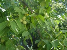 ΛΙΚΕΡ:12 καρύδια πράσινα(φρέσκα),1 λίτρο κονιάκ ή ουζο ή τσίπουρο,1 κιλό ζάχαρη. Πλένουμε καλά τα καρυδάκια και τα σκουπίζουμε. Καρφώνουμε πάνω σε κάθε καρυδάκι 3 με 4 γαρυφαλλάκια 1 ξυλάλι κανέλλα, σε βάζο αεροστεγές στον ήλιο! Καθε 2 μέρες θα πρέπει να ανακινούμε το βάζο για να ανακατεύονται τα υλικά. Μετα απο 1 μήνα περνάμε το λικέρ απο τρυπητό με γάζα για να ειναι καθαρό απο τυχόν κομματάκια γαρύφαλλου και το φυλάμε σε μπουκάλια.