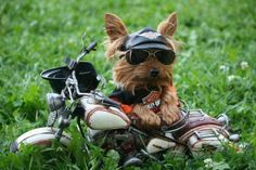 "Yorkie in a Harley outfit | Little bitty Harley ""dog""-what a ham! (This could've been my Bubba! We have everything but the motorcycle!)"
