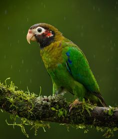 Brown-hooded Parrot - Pyrilia haematotis; Range: Mexico south to W Panama. This species is found up to 1200m in dense primary rainforest, including low elevation cloud forest, forest clearings with grass and scattered trees, and cultivated areas.Photo by Bill Holsten.