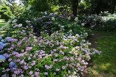 Memphis Botanic Garden - Hydrangea Garden by KarlGercens.com, via Flickr