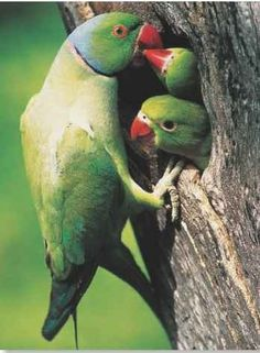 This is an Indian Ringneck parakeet.  It is actually a male (you can tell by the ring), feeding his babies.