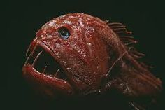 The common fangtooth, or Anoplogaster cornuta, is a small, deep-sea fish with some of the largest teeth in the ocean, proportional to its size.see more 20 weirdest fish Deep Sea Creatures, Weird Creatures, Fauna Marina, Blobfish, Weird Fish, Scary Fish, Deep Sea Fishing, Sea Monsters, Ocean Life