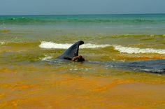 Se tiene conocimiento en récord de dos decenas de varamientos de cachalotes en Puerto Rico desde 1966. José E. Maldonado / www.miprv.com