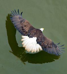 Bald Eagle by Evan Spellman