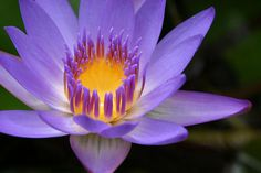 Beautiful Lotus Flower, love these