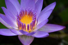 Beautiful Lotus Flower, love these