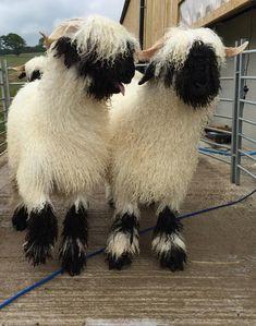 Fluffy Animals, Cute Baby Animals, Farm Animals, Beautiful Creatures, Animals Beautiful, Valais Blacknose Sheep, Cute Sheep, Pet Fox, Animal Paintings