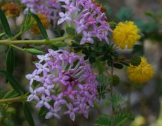 Primelia rosea and wattle blooming together!