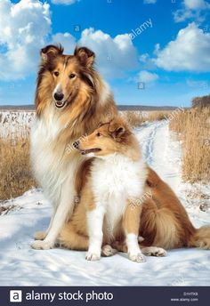 Collie with puppy.