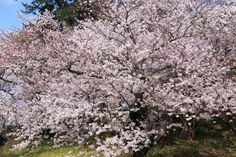cherryblossoms in Ube JAPAN  by片柳弘史さん