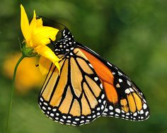 butterfly photos - Google Search