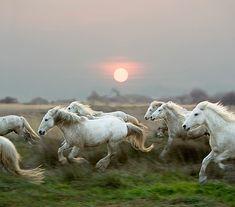 Camargue horses?