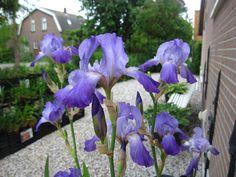 iris germanica wild type   Bloeitijd : Mei