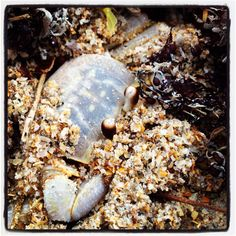Atlantic ghost crab hiding in the sand