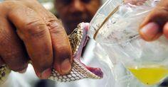 Instituto Butantan - O Instituto Butantan fabrica antidotos para as picadas de todas as cobras peconhentas do Brasil. Sao Paulo - Pesquisa Google