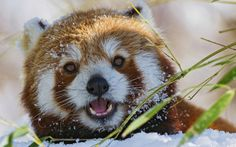 winter-wallpaper-red-panda-bear-snow-hd-close-up-photo-panda