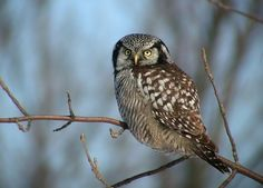 Northern Hawk Owl.  February 14, 1982 Keene, NY w/ Bob Hagar. Jan Greenie Chase and I came down the next day so she and Greenie could see the bird too. Bird perched on a pole near hwy (Near where the Keene Garden Center is now-1999).  The owl swooped down and caught a mouse, left an  imprint of its wings on the snow! Photo by mcdomik