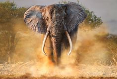 Massacre of the giants: Once hunted to near extinction, Africa's elephants slowly pulled back from the brink Elefant in Afrika bedroht Bull Elephant, Elephant Face, African Elephant, African Animals, Elephant Images, Elephant Theme, Elephants Photos, Save The Elephants, Elephant Photography