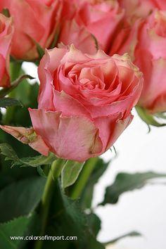 Rosa Samba Pi Ti (rose) www.colorsofimport.com