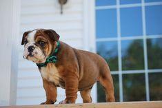 Best Toys For Bulldogs #besttoysforBulldogs