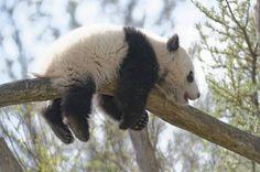 Panda boy Fu Bao, Zoo Vienna
