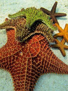 Andros Island Sea Stars by nashworld Underwater Creatures, Underwater Life, Ocean Creatures, Beautiful Sea Creatures, Life Under The Sea, Water Animals, Exotic Fish, Sea And Ocean, Sea World