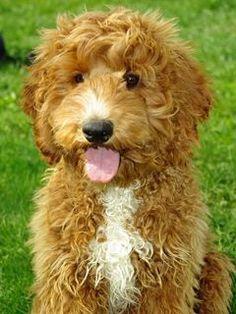 Labradoodles make the BEST family dog :)