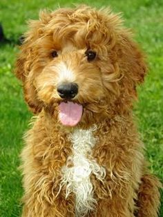 Labradoodles make the BEST family dog :)