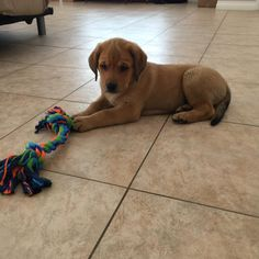Hello Reddit my name is Anakin. I love to follow people around the house and lay on their feet. I am a 9 week old German shepherd Lab mix.