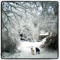 My labs running in the snow. Brady & Beau