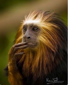 The Golden-headed Lion Tamarin (Leontopithecus chrysomelas) Is forest-dwelling monkey of the marmoset family confined to Bahia, Brazil. They feed on plants, fruit, various insects and small invertebrates. Endangered.
