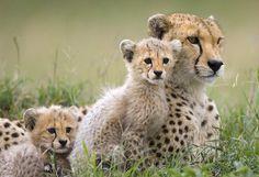 Enciclopedia animal | Animales de la sabana - Guepardo o chita