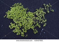 Green saline plant growing on black volcanic sand, Iceland