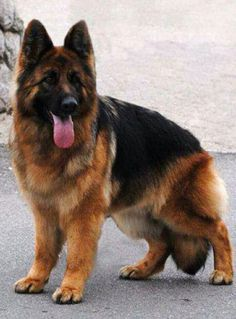 Wicked Training Your German Shepherd Dog Ideas. Mind Blowing Training Your German Shepherd Dog Ideas. Types Of German Shepherd, German Sheperd Dogs, Sable German Shepherd, German Shepherds, Shepherd Dogs, Big Dogs, Large Dogs, Cute Dogs, Bulldog Puppies