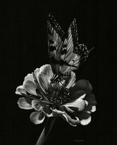  Welcome to the magic of scratchboard art and to the beauty and diversity of nature! Black Canvas Paintings, Black Paper Drawing, Stippling Art, Scratchboard Art, Laser Art, Black And White Sketches, Scratch Art, Charcoal Art, Creta