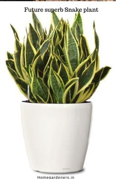 How to Care for Air-purifying Snake Plant in Pots #airpurifyingplants #gardening #plants