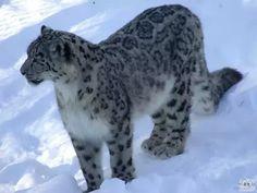 Irbis, pantera śnieżna, śnieżny leopard. (Panthera uncia).Eng.Snow leopard.- gatunek drapieżnego ssaka z rodziny kotowatych (Felidae), występującego na terenach Azji Środkowej. Żyje w Himalajach i na Wyżynie Tybetańskiej oraz środkowej Azji. Zamieszkuje stepy, lasy i góry do 6000 m n.p.m. w lecie i ok. 600 m n.p.m. w zimie. Zwykle przebywa nad granicą lasu. Ma krępe, dość krótkie łapy i długi, gruby ogon. Głowa i tułów mierzą 100-130 cm, ogon 80-100 cm. Irbis waży 25-75 kg. Na białokremowej…