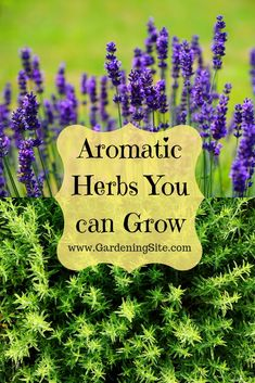 Herbs are wonderful plants which have so many uses for us. Some herbs are aromatic and provide medicinal properties while others can be added to your cooking for that added smell and taste. Here are some great aromatic herbs you can grow! #AromaticHerbs #AromaticHerbsGarden #GrowAromaticHerbs Kitchen Gardening, Herb Gardening, Garden Plants, Aromatic Herbs, Medicinal Herbs, Canning Jar Labels, Diy Outdoor Furniture, Building A Deck, Grow Your Own Food
