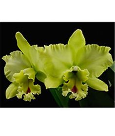 Chartreuse Orchids