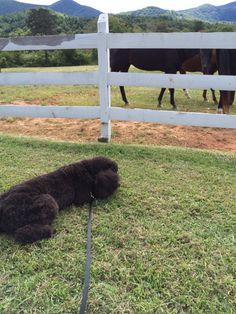 Bentley Bleu exhausted from the excitement of the horses.