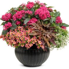 Proven Winners - Sunstar® Rose - Egyptian Star Flower - Pentas lanceolata pink rosy pink plant details, information and resources. Container Flowers, Flower Planters, Container Plants, Container Gardening, Flower Pots, Urban Gardening, Flower Gardening, Outdoor Planters, Yellow Plants