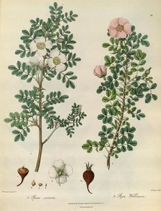 Rosa sericea and Rosa Webbiana. Plate taken from 'Illustrations of the Botany and Other Branches of the Natural History of the Himalayan Mountains' by Forbes Royale (1829). Published by Wm. Allen. Missouri Botanical Garden archive.org