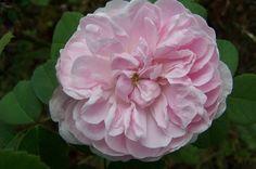 Rose 'Siwa'