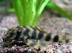 L 049 peckolitia | Aquarium vissen database | gdaquarium
