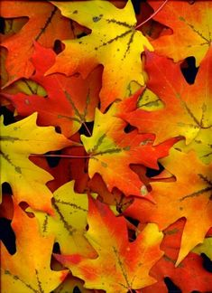 Sugar Maple Leaves-my favorite tree for Autumn
